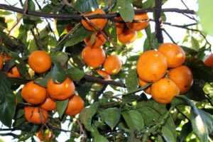 Абхазские мандарины, путешествие в Абхазию зимой