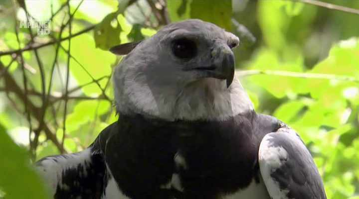 Белоглавый орлан